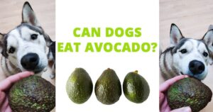 can-dogs-eat-avocado