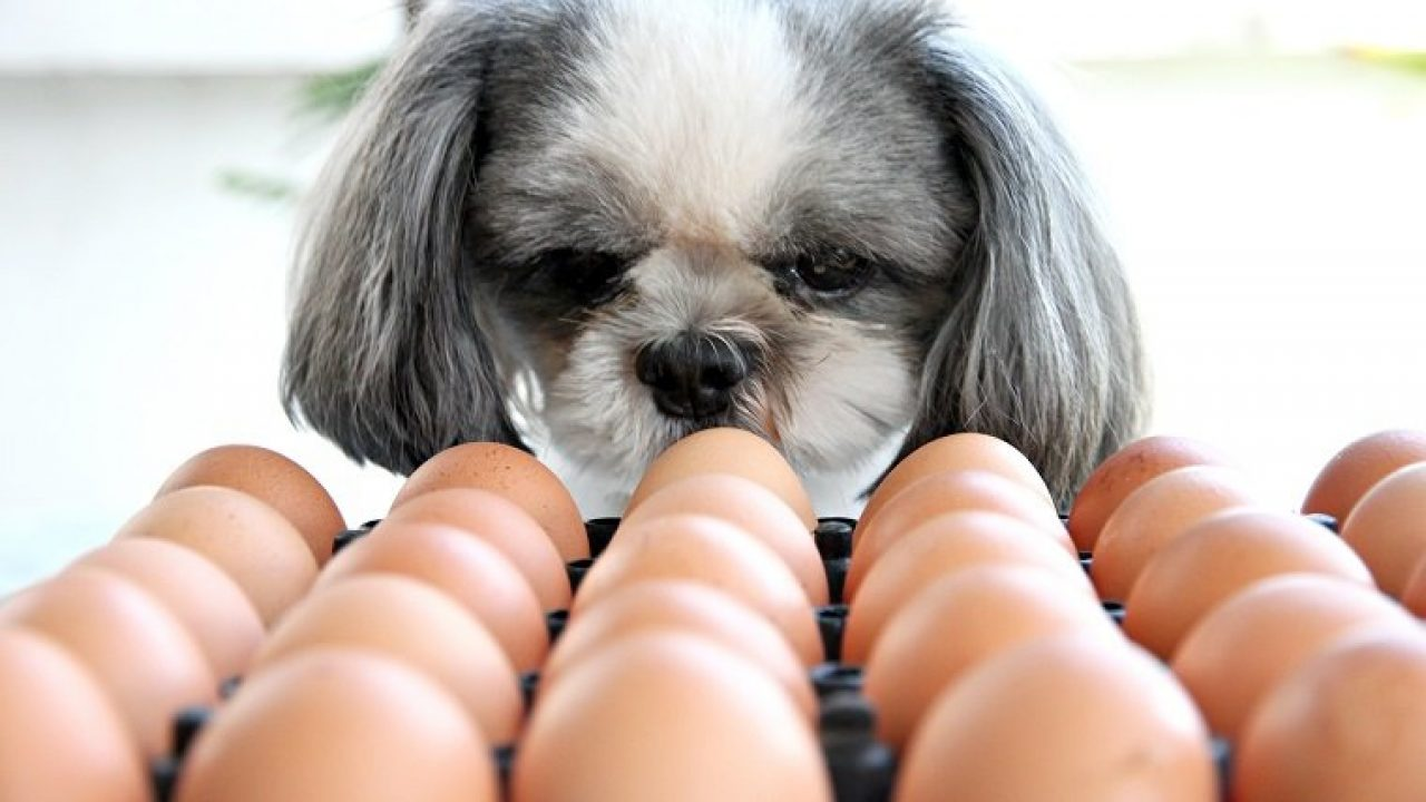 Does your dog like eggs? He doesn't like how eggs are cooked, but what about the raw? Can dogs also eat raw eggs?