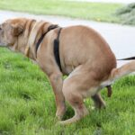 Diarrhea in Dogs: Treatment & Causes